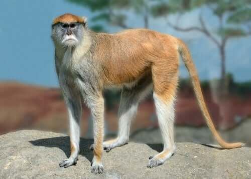 A patas monkey standing on a rock.