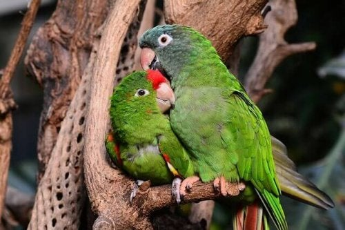 A pair of lovebirds sitting on a branch.