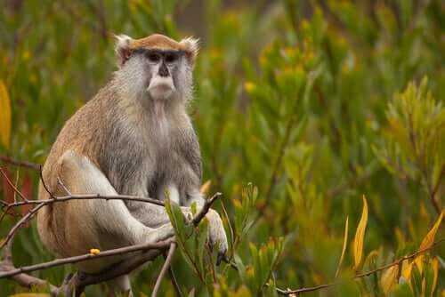 The Patas Monkey: Meet This Fascinating Primate