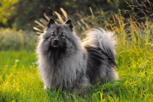 A Keeshond in some grass.