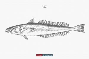 A drawing of a hake.