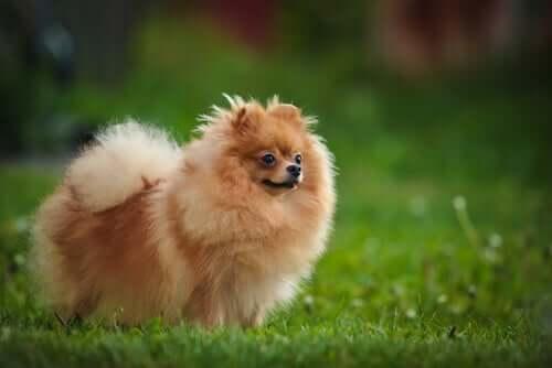 A Pomeranian in a garden.