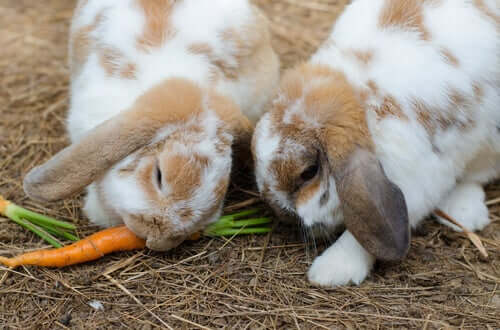 Some rabbits eating carrots.
