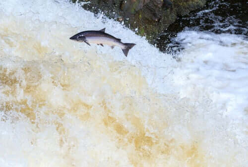 A salmon leaping.