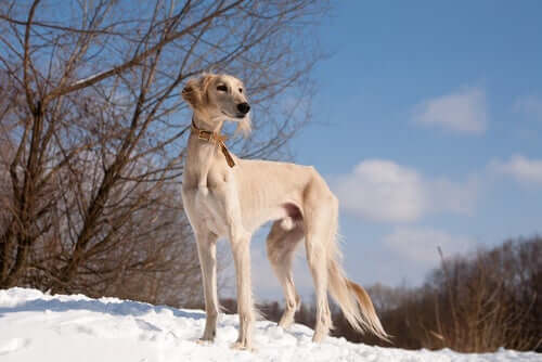 A Saluki standing in the snow.