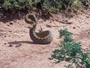 A rattlesnake in the desert.