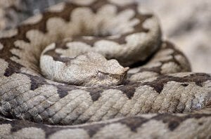 A rattlesnake curled up.