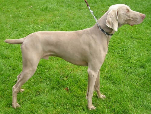 All About The Weimaraner Dog Breed