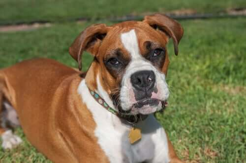 A boxer lying on the grass.