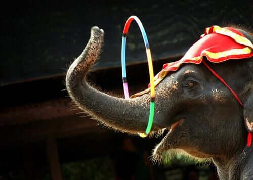 A circus elephant.