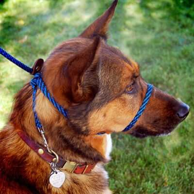 A dog wearing a head collar.