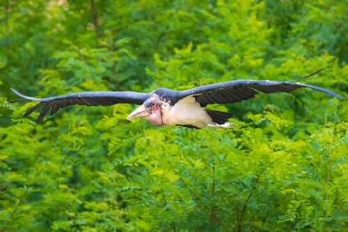A flying marabou stork.