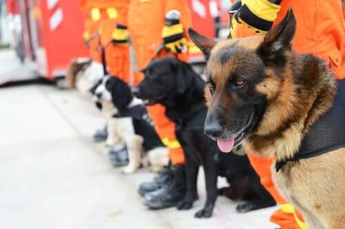 A line of rescue dogs.