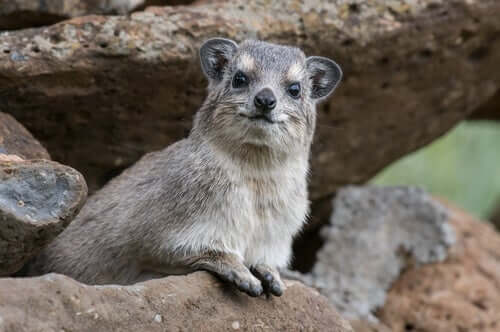The Acrobatic Rock Hyrax