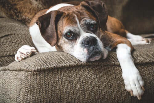 A sad looking dog on a couch.