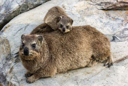 An adult and baby rock hyrax.