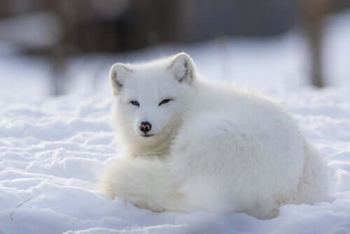 The Arctic Fox: A Sociable and Territorial Animal