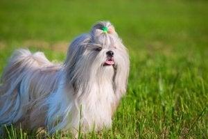 A dog in a field.