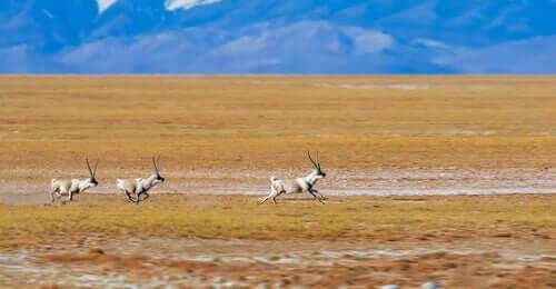 Tibetan antelope running across a pasture.