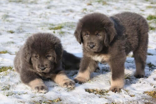 Two fluffy dogs.