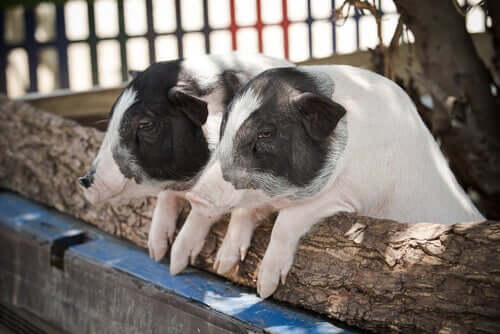 Two pigs with dwarfism.