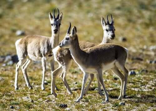 Young tibetan antelope calves.