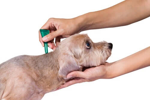 An owner applying a topical treatment to a dog's skin.