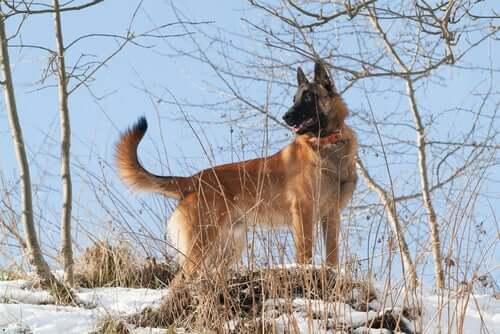 A Belgian Shepherd in the snow.