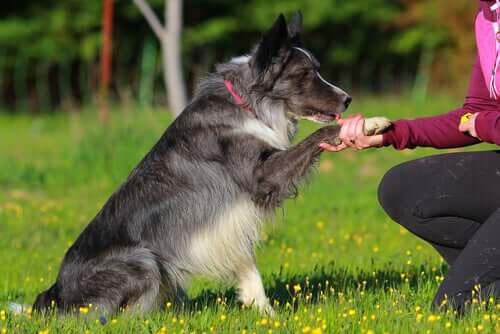 A Border Collie being trained.