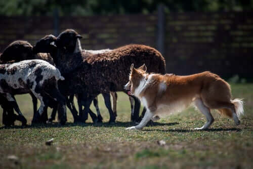 A Border Collie herding.
