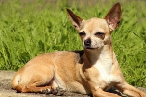 Chihuahuas are one of the most popular breeds among celebrities.