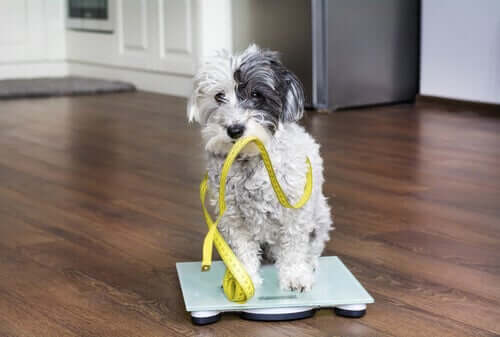 A dog standing on a scale.