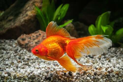 A goldfish swimming at the bottom of its tank.