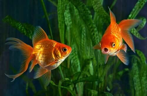 Two goldfish swimming in a tank.