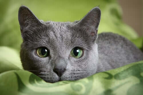 A grey cat with green eyes.