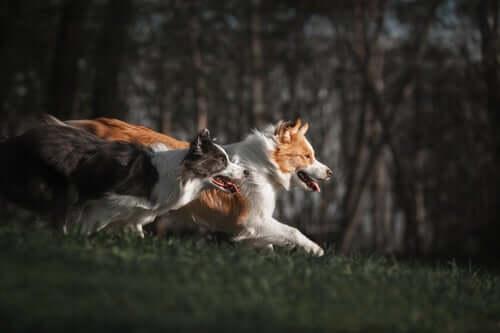 Four Border Collie Herding Training Methods