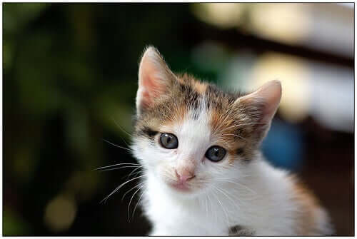 A kitten with ear mites.