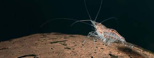 A krill swimming near the ocean floor.