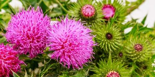 A close-up showing milk thistle flowers.