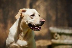 A Labrador.