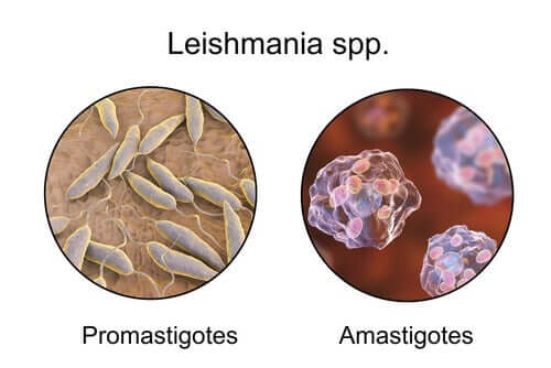 The difference between promastigotes and amastigotes.