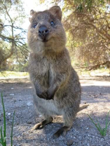 The quokka is very inquisitive.