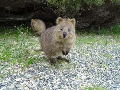 Meet the Quokka: The Happiest Animal in the World