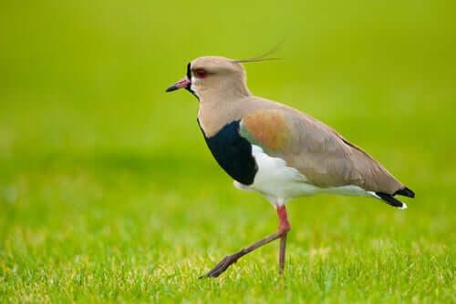 A southern lapwing bird.