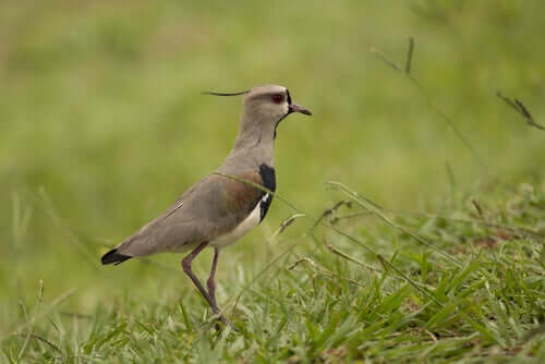 Learn All About the Southern Lapwing