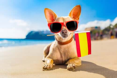 A chihuahua holding a Spanish flag in its mouth.