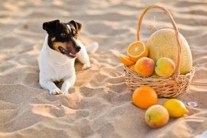 A Jack Russell and a basket of fruit.