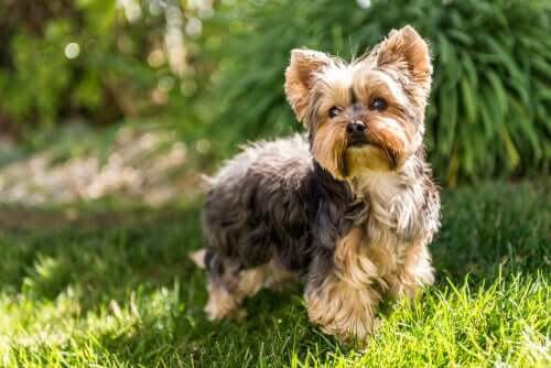 A Yorkshire terrier standing on a lawn.