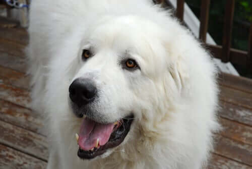 All About The Amazing Great Pyrenees