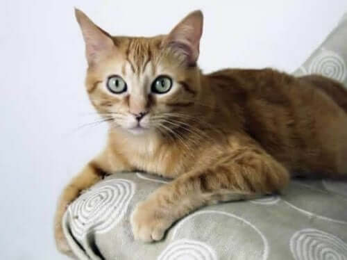 Brazilian Shorthair - From Rags to Riches